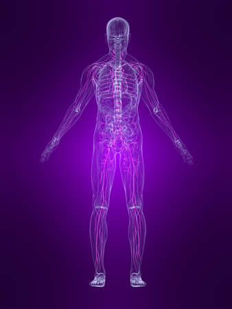 skeletal: transparent human body with highlighted lymphatic system Stock Photo