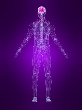 transparante menselijk lichaam met gemarkeerde zenuw stelsel  Stockfoto