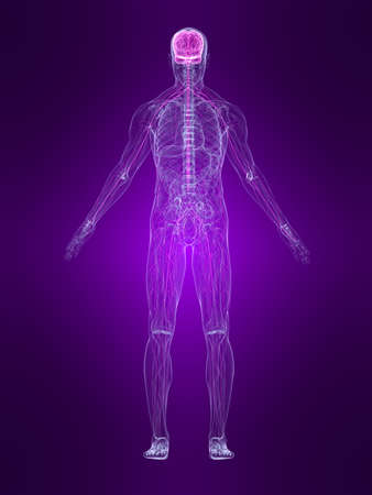 skeletal: transparent human body with highlighted nervous system Stock Photo