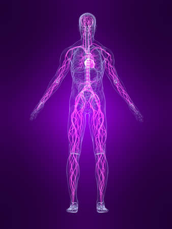 transparent human body with highlighted vascular system photo