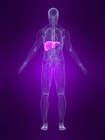 transparent human body with highlighted liver Stock Photo - 4683116