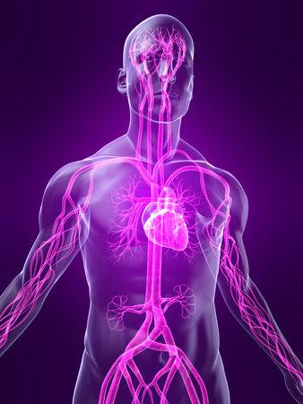 anatomia humana: destac� sistema vascular Foto de archivo