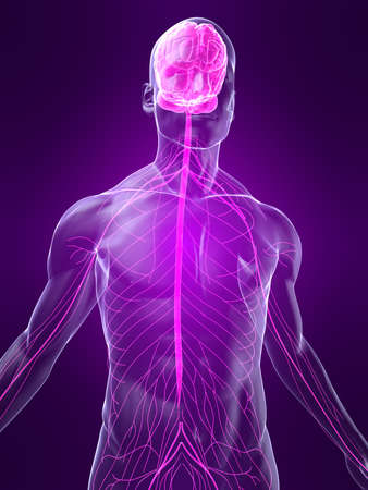highlighted nervous system Stock Photo - 4683150