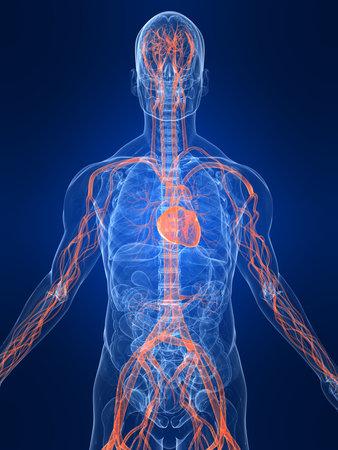 highlighted: destac� sistema vascular Foto de archivo