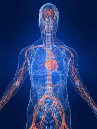 highlighted vascular system photo