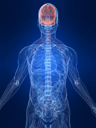 highlighted nervous system Stock Photo - 4683181