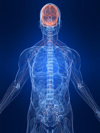 nerveux: mis en �vidence le syst�me nerveux