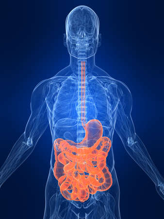 small intestines: highlighted digestive system
