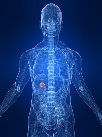 gall: higlighted gall bladder