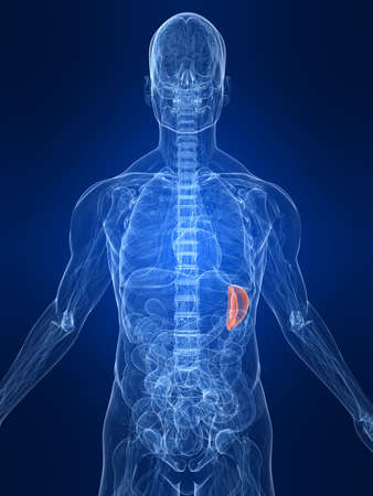 highlighted spleen Stock Photo - 4683161