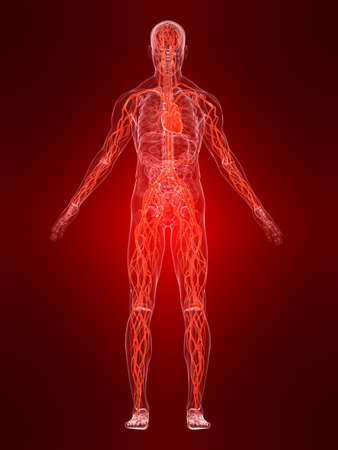 body and blood: vascular system