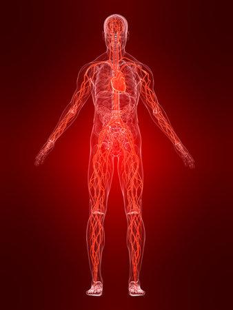 skeletal system: vascular system