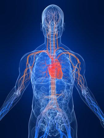 circolazione: sistema vascolare Archivio Fotografico