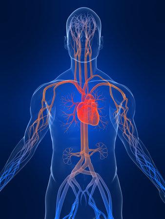 highlighted: sistema vascular