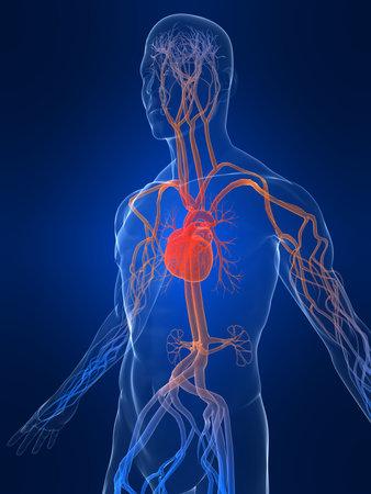 vascular system photo