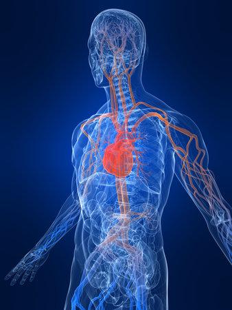 vascular: vascular system