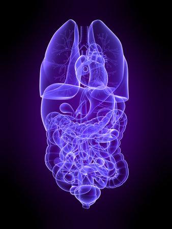 abdominal pain: transparent human organs Stock Photo