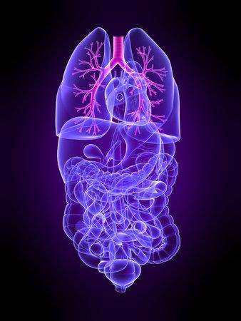 foie humain: transparent de l'homme avec les organes mis en �vidence des bronches Banque d'images