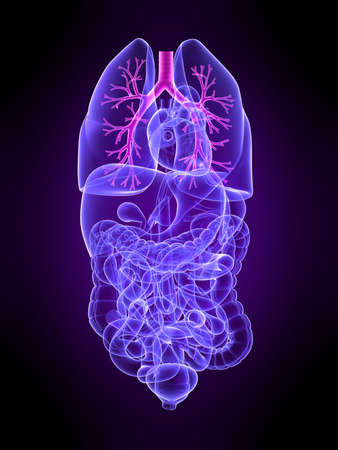 human intestine: transparent human organs with highlighted bronchi Stock Photo