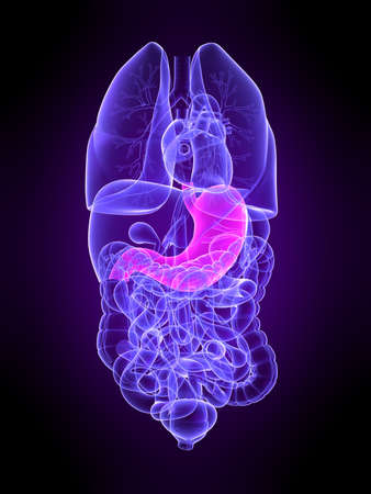 transparent human organs with highlighted stomach Stock Photo - 4683128