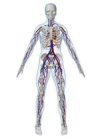circulation: vascular system