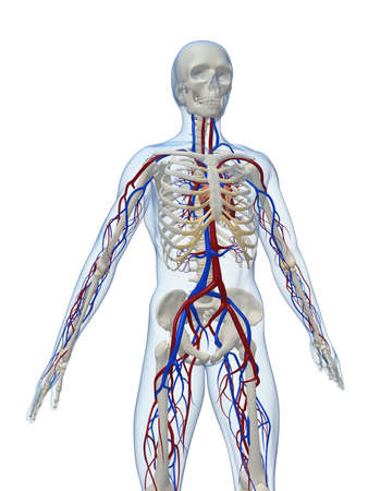 skeletal: human skeleton with vascular system Stock Photo