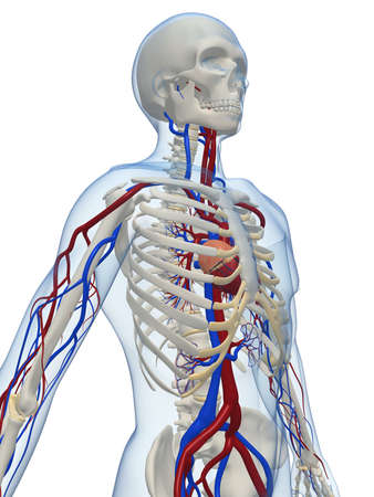 circulation: human skeleton with vascular system Stock Photo