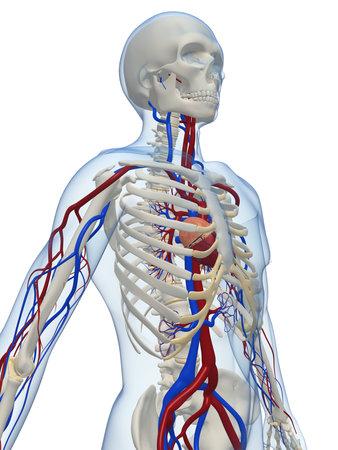 circolazione: scheletro umano con sistema vascolare