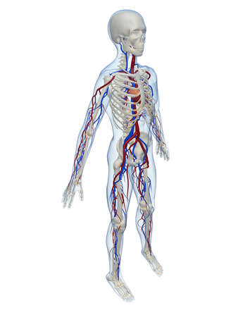 inflammated: human skeleton with vascular system Stock Photo