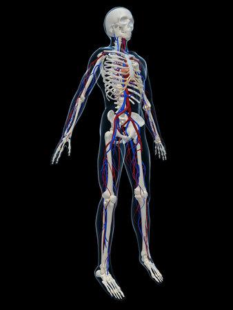 heartattack: human skeleton with vascular system Stock Photo