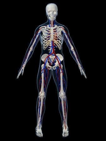 transparent system: human skeleton with vascular system Stock Photo