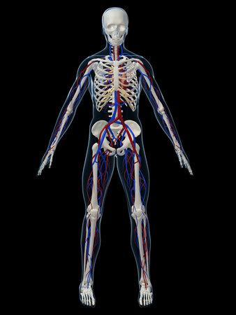 skelett mensch: menschlichen Skeletts mit Kreislauf-System