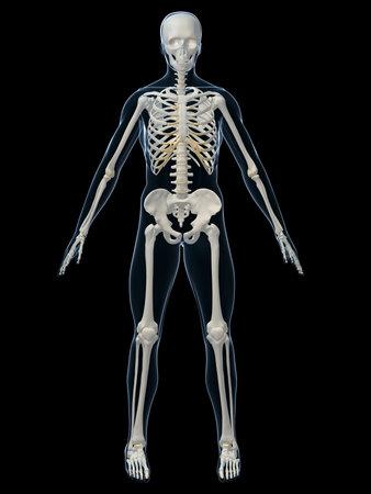 human skeleton: human skeleton Stock Photo