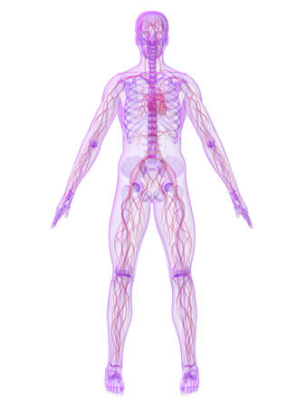 human skeleton with vascular system Stock Photo - 4716289