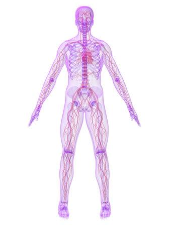 human skeleton with vascular system Stock Photo - 4716289