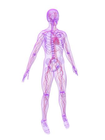 human skeleton with vascular system photo