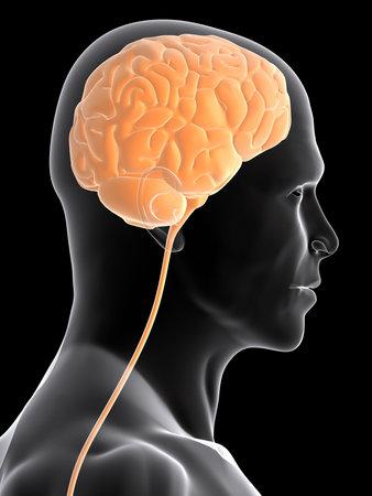 cerebellum: transparent human head shape with brain