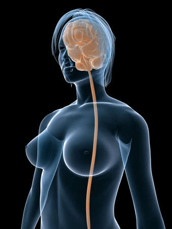 transparent female body shape with brain Stock Photo - 4757690