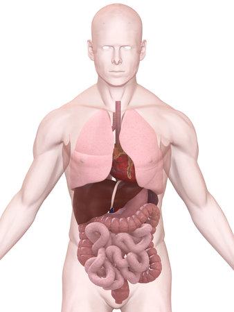 gastrointestinal: �rganos humanos Foto de archivo