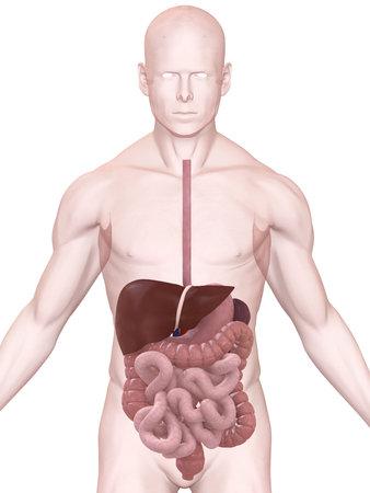 pain in the abdomen: sistema digestivo
