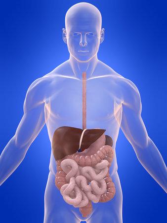 gastrointestinal: digestive system
