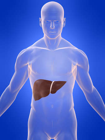 transparent male anatomy: human liver