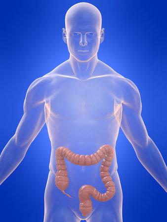 colon: colon umano