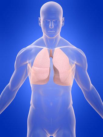 polmone: corpo trasparente con polmone Archivio Fotografico