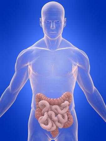 intestines: cuerpo transparente con el colon y los intestinos Foto de archivo