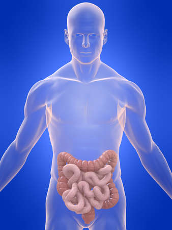 colon cancer: transparent body with colon and intestines