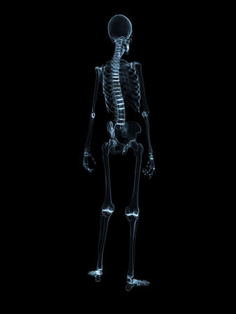 x-ray - human skeleton stock photo, picture and royalty free image, Skeleton