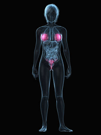 inflammated: transparent female body with highlighted organs Stock Photo