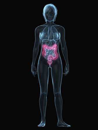 inflammated: transparent female body with highlighted colon