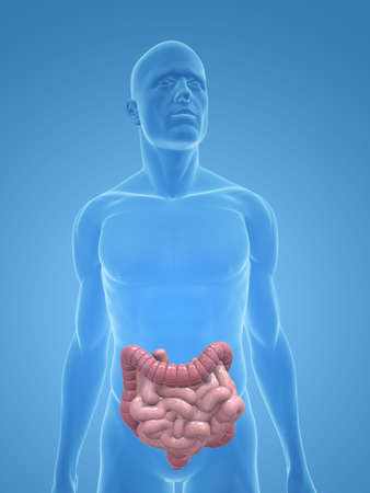 transparent male body with colon and small intestines photo